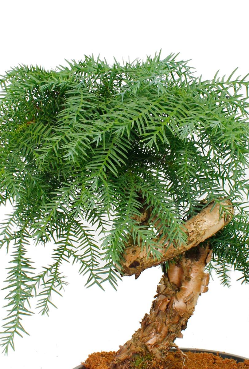 Araucaria bonsai kopen