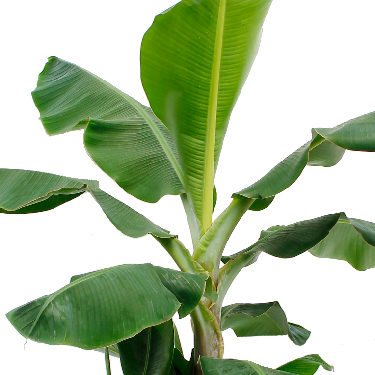 Bananenplant hydrocultuur