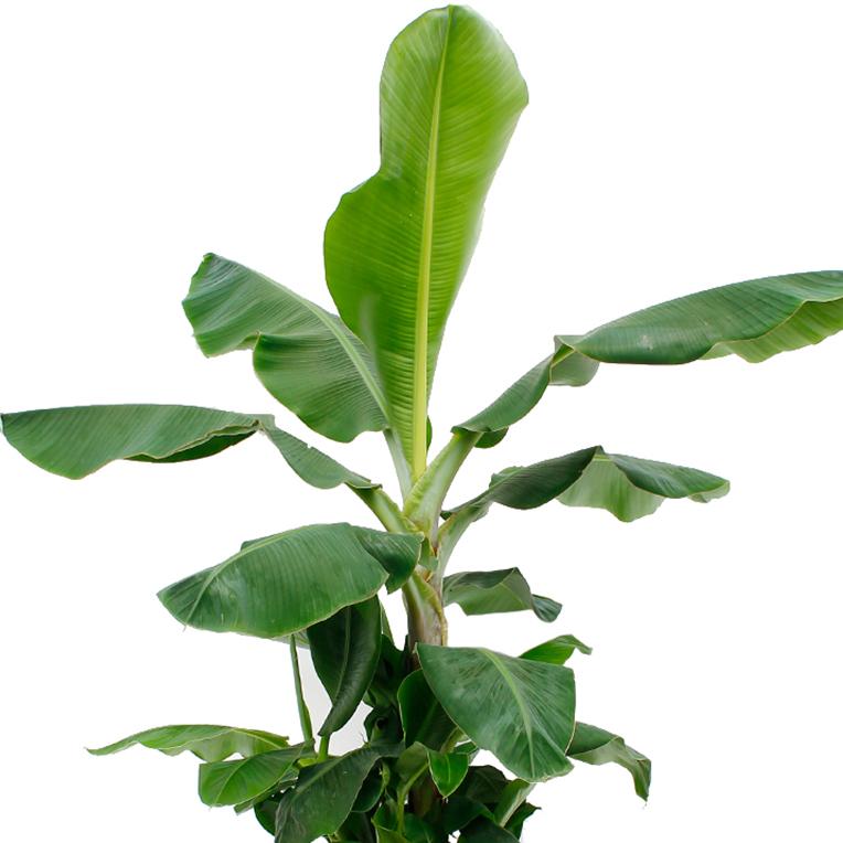 Musa met groot blad kopen