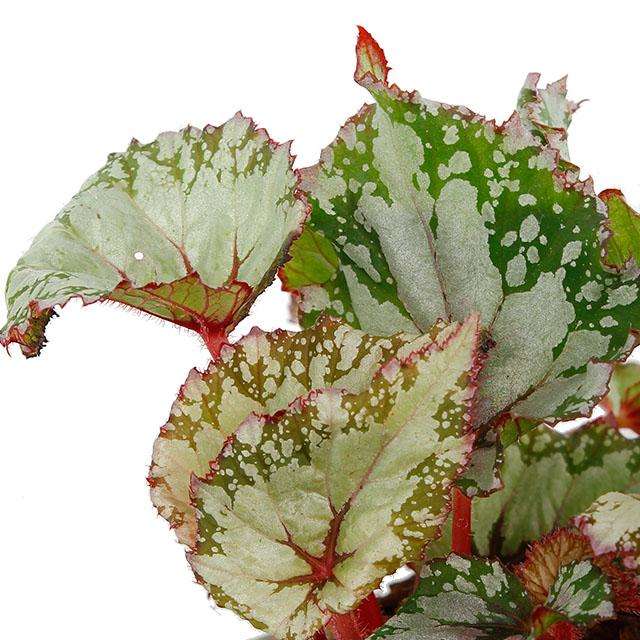 Begonia kopen?