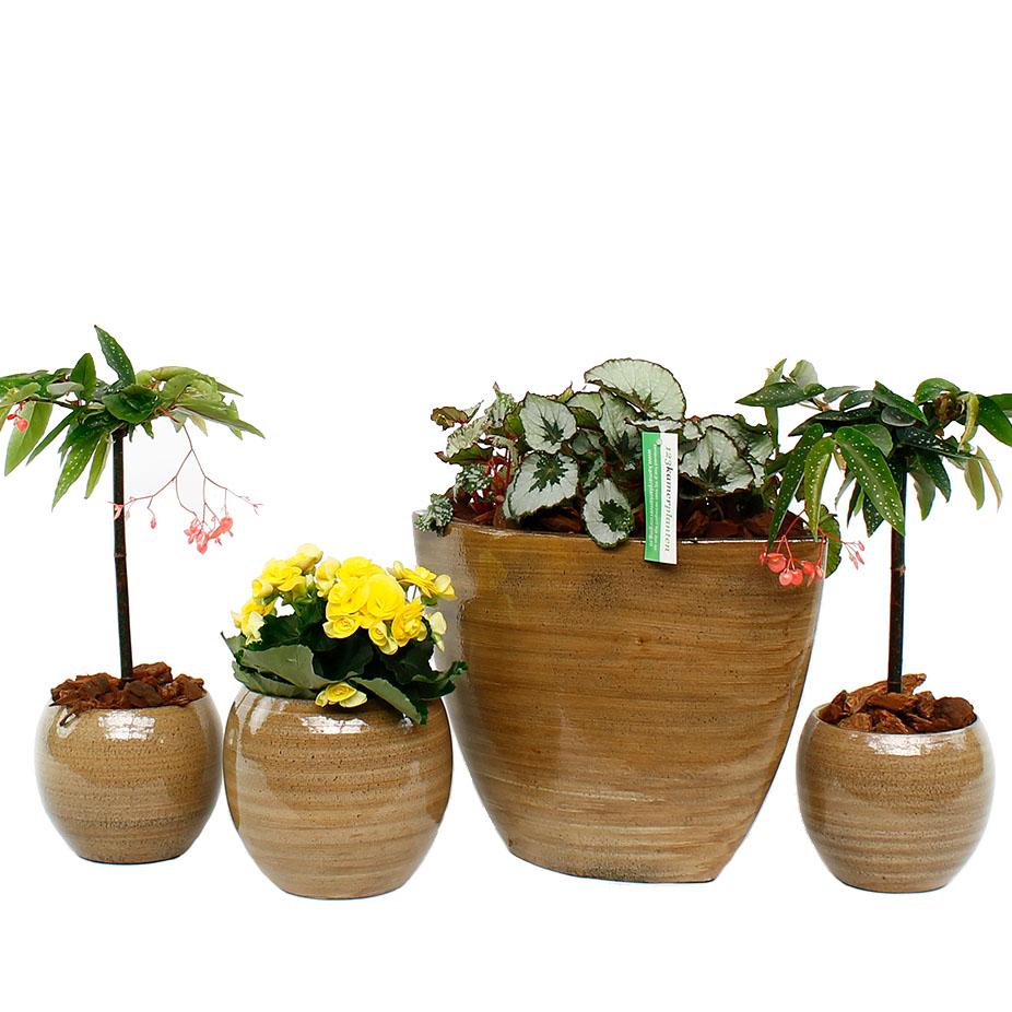 begonia verzorging