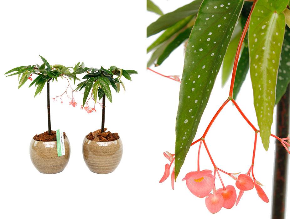 begonia in bloei