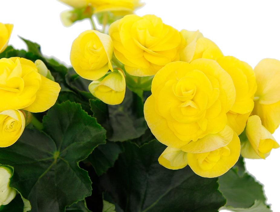 Begonia gele bloemen