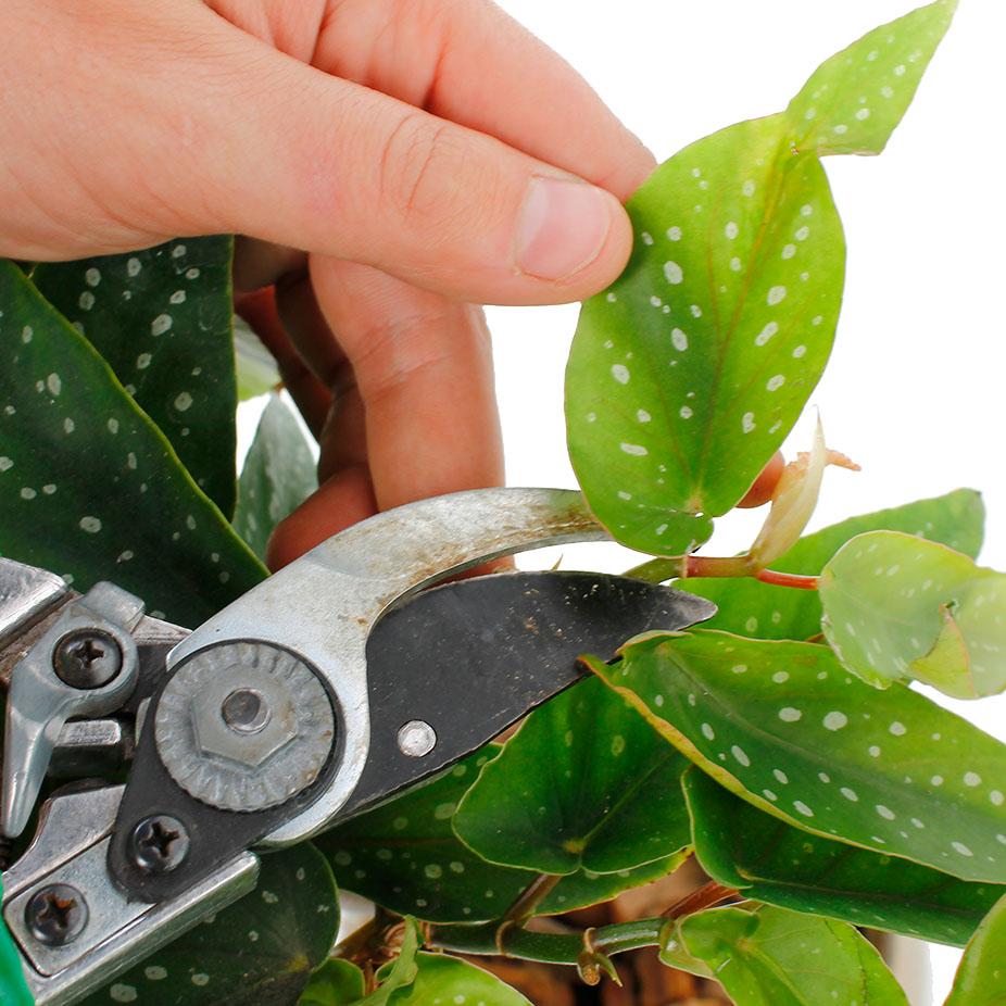 Begonia snoeien en knippen
