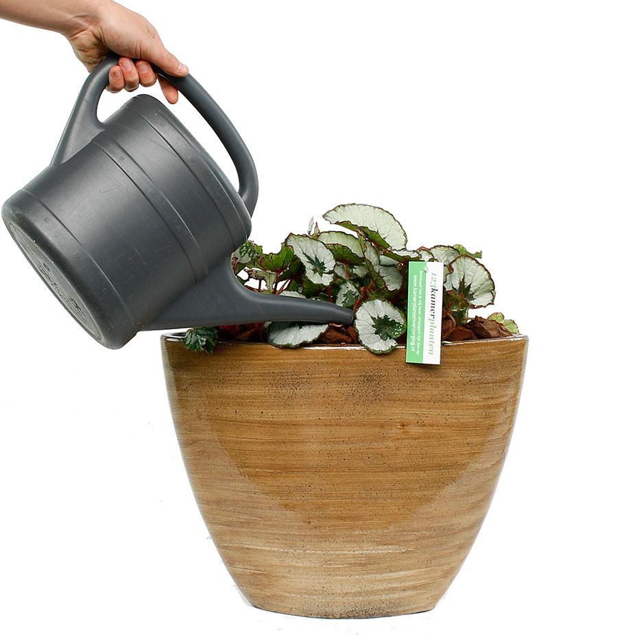 Begonia water geven
