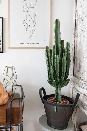 Cactus in woonkamer