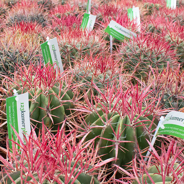 Cactus succulent kopen
