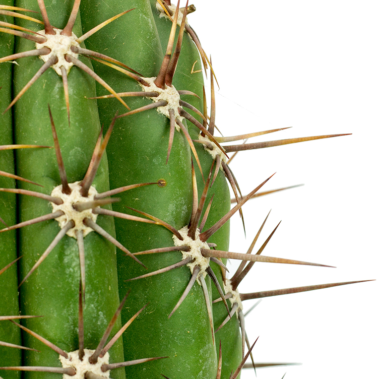Cactus voor een zonnige plek kopen