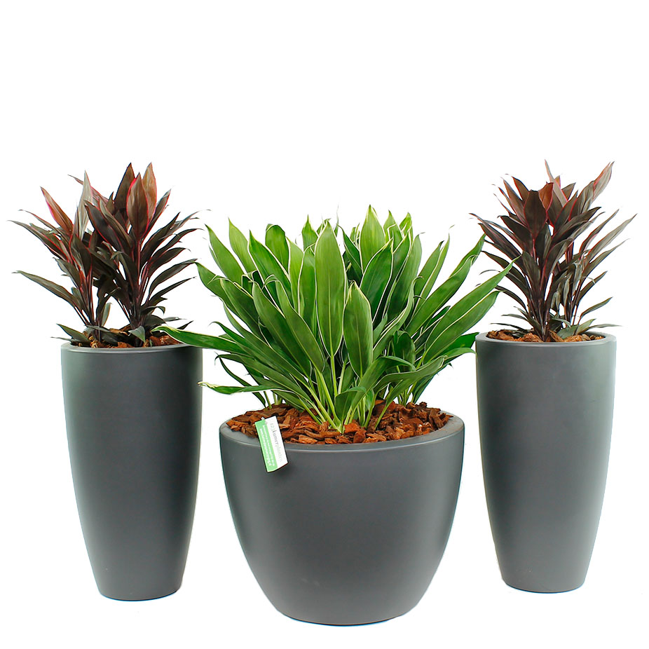 Cordyline verzorging tips