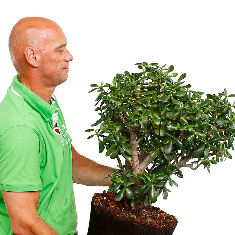 Crassula succulent kopen
