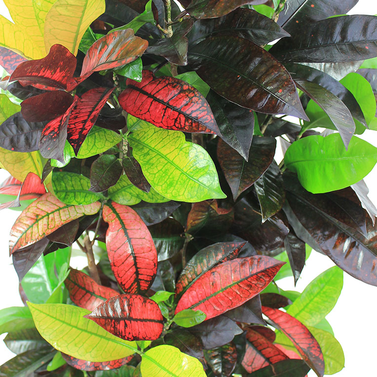 Croton kopen