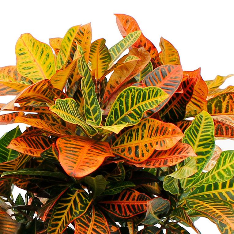 Croton hydrocultuur kopen