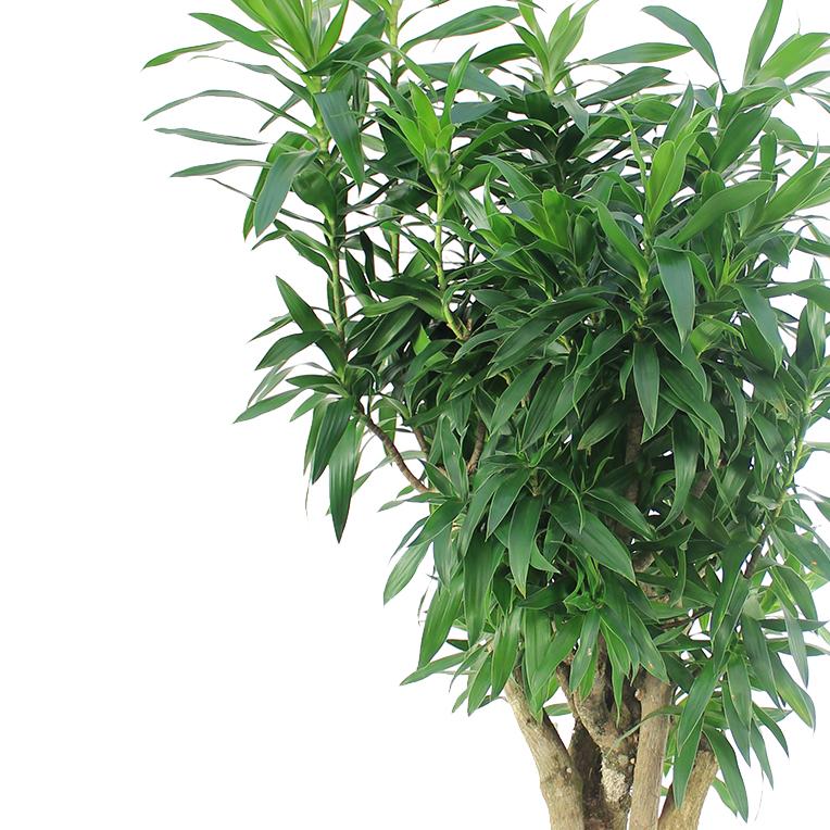 Sterke Hangplanten Voor Binnen.Makkelijke Sterke Kamerplanten Kopen 123planten Nl
