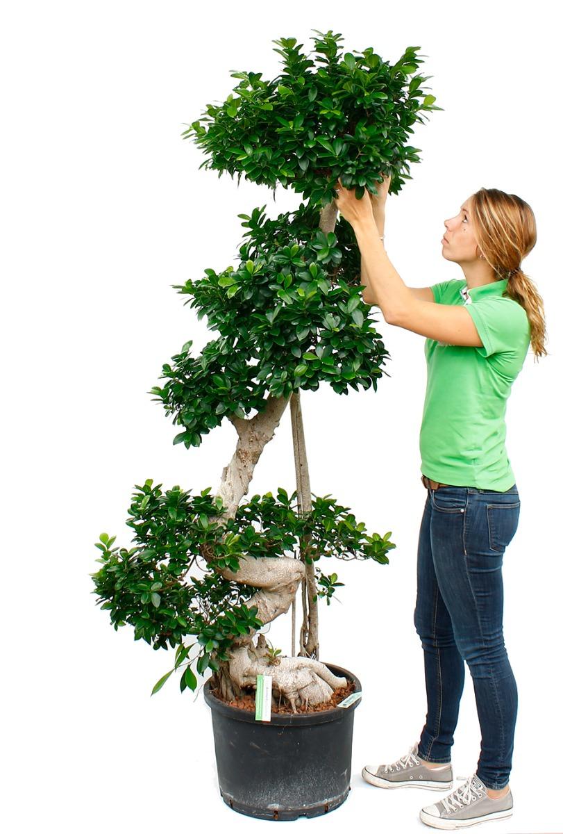 Bonsai Voor Binnen.Bonsai Boom Kopen 123planten Nl
