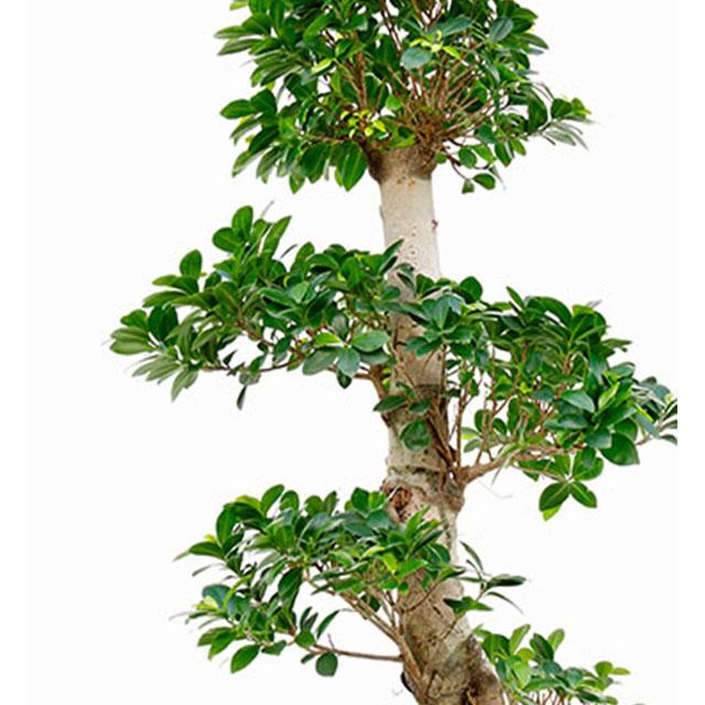 Ficus Microcarpa ginseng kopen