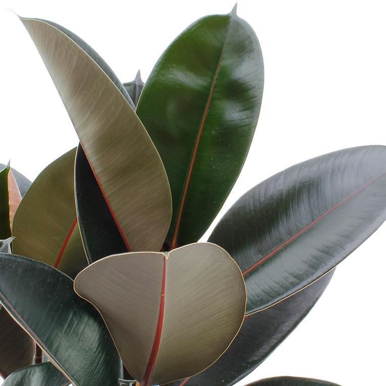 Ficus hydrocultuur kopen