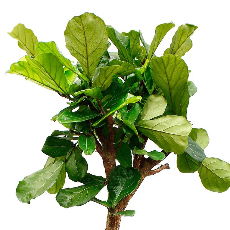 Ficus kopen