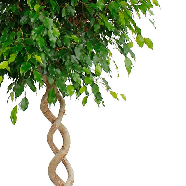 Ficus benjamina kopen