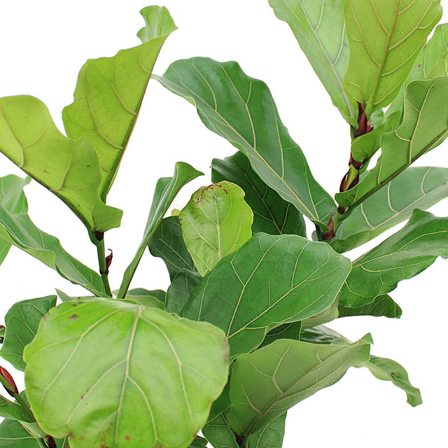 Ficus lyrata kopen