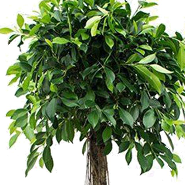 Ficus Nitida kopen