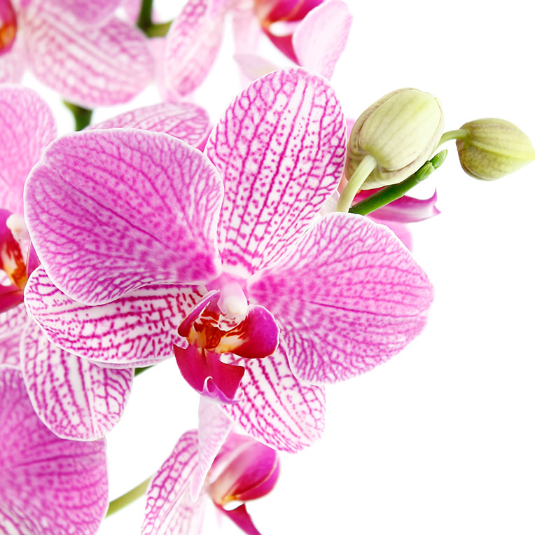 Bloeiende orchidee kopen