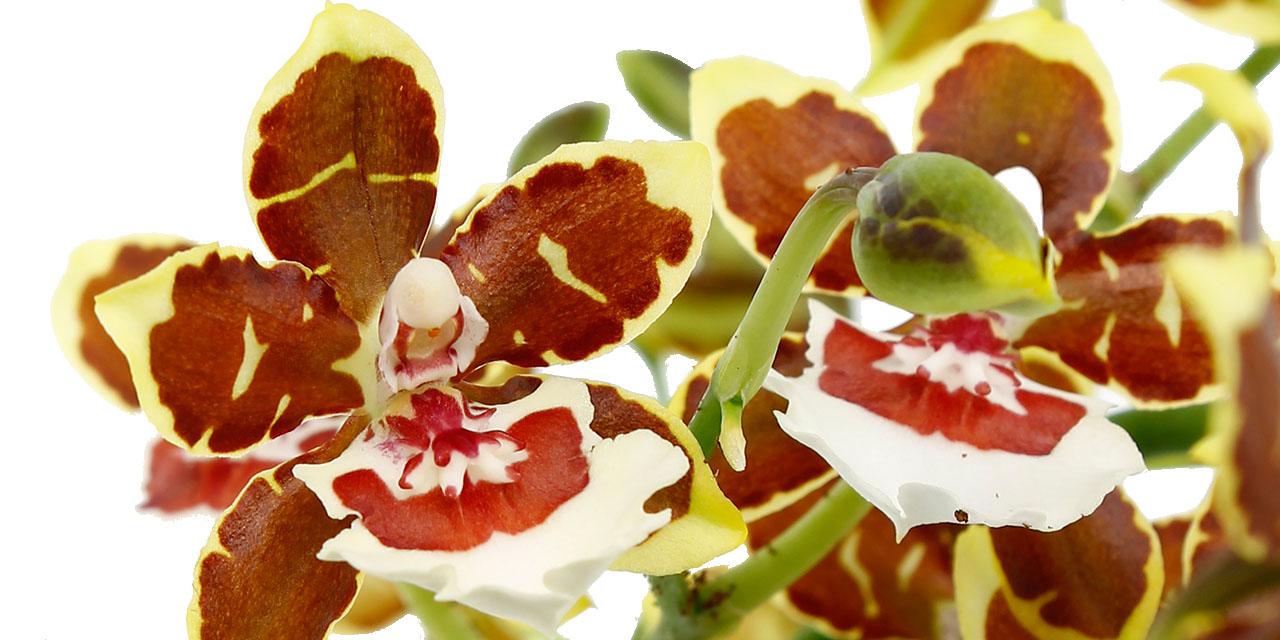 Exclusieve Orchideeën