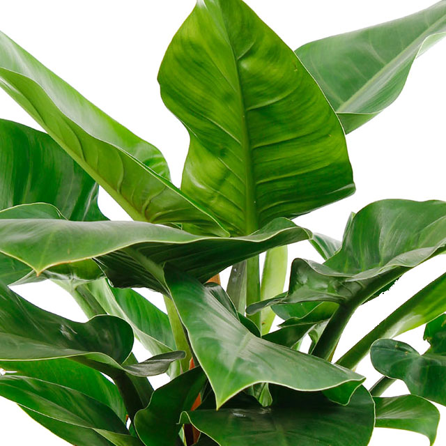 Philodendron Imperial Green kopen
