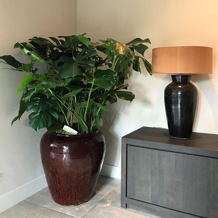 Schaduwplanten kopen