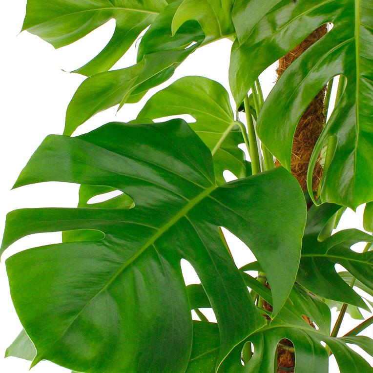 Philodendron met groot blad kopen
