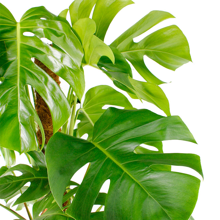 Philodendron kopen