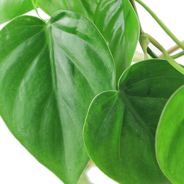Philodendron scandens kopen
