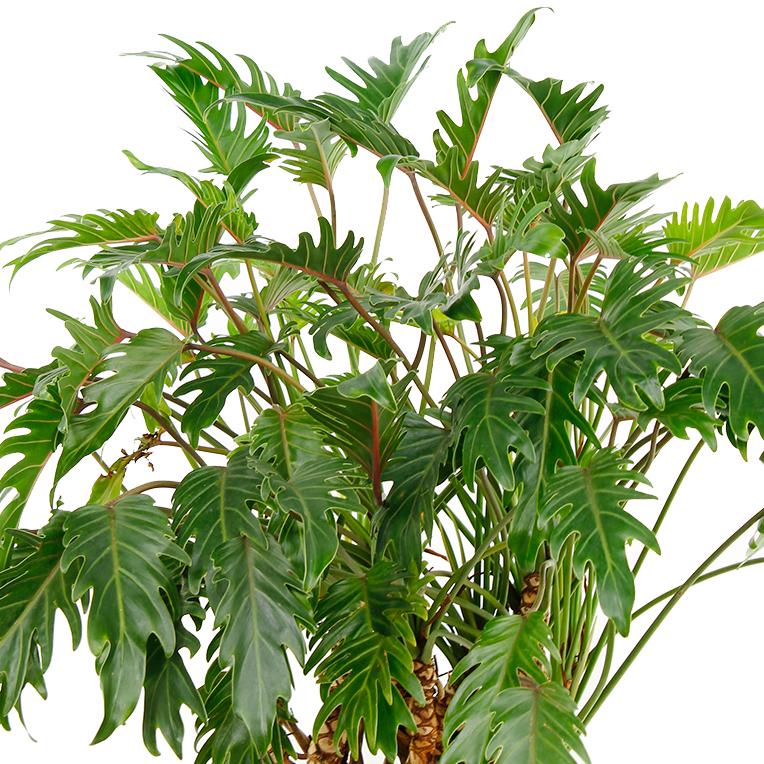 Philodendron voor in de schaduw kopen