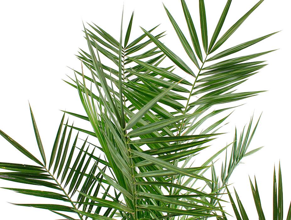 Phoenix Canariensis palm blad