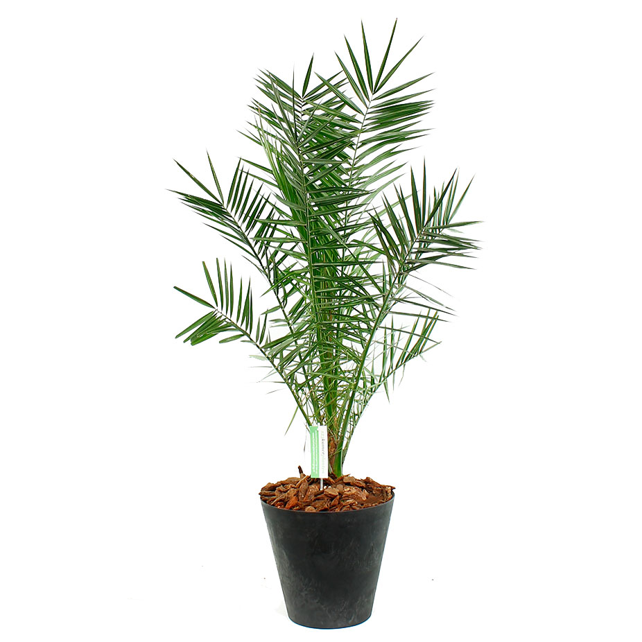 Phoenix Canariensis in pot