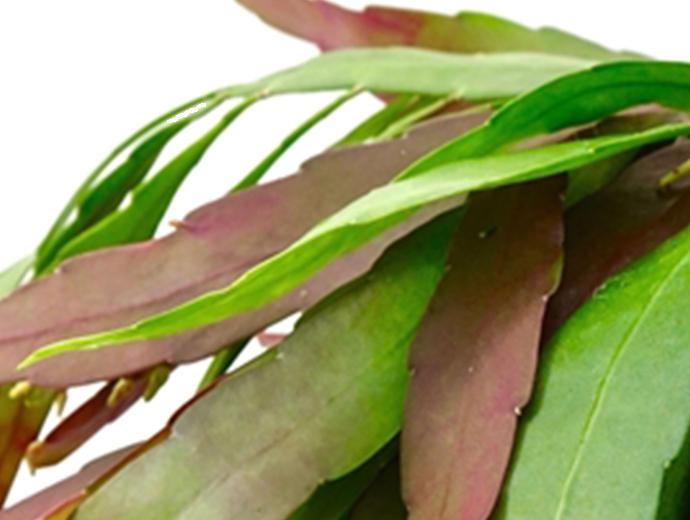 Rhipsalis Ramulosa