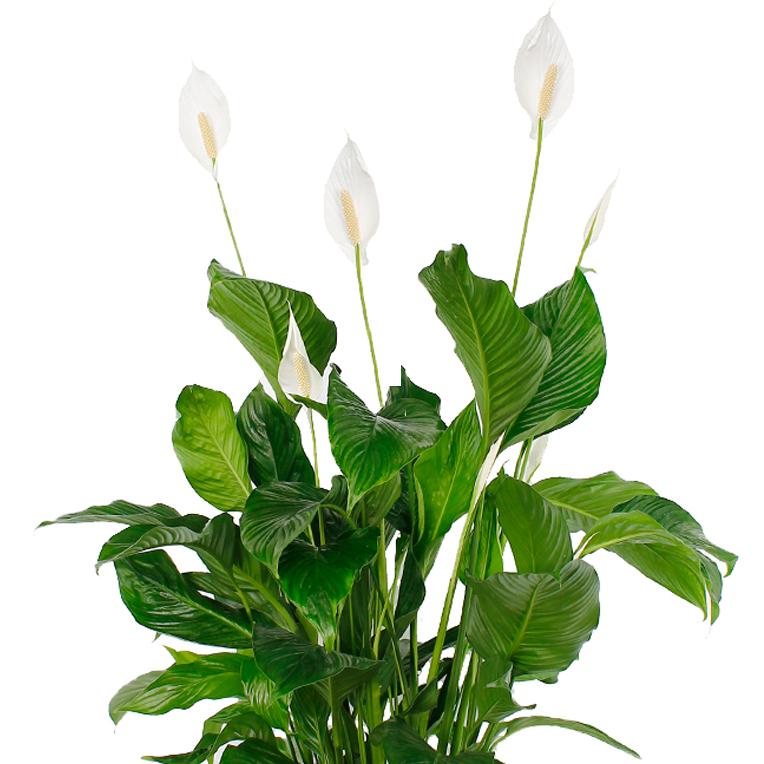 Spathiphyllum kopen