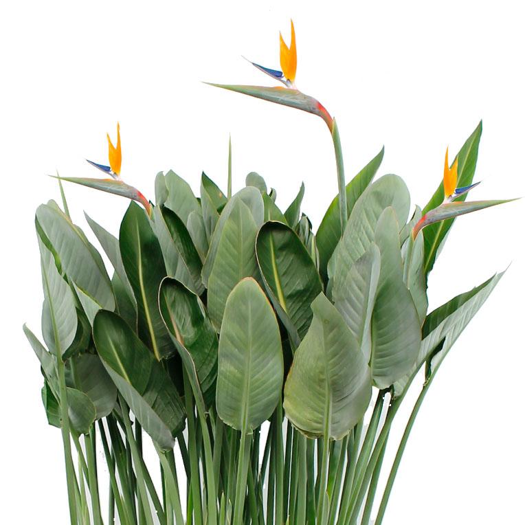 Bloeiende Strelitzia kopen