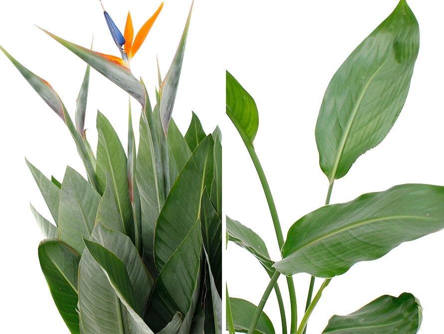 Strelitzia Reginea