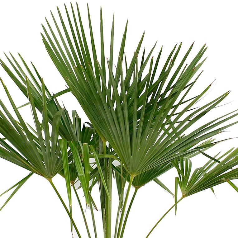 Trachycarpus kopen