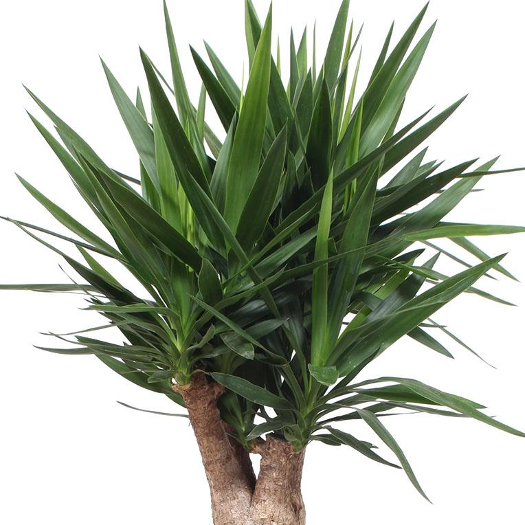 Yucca hydrocultuur kopen