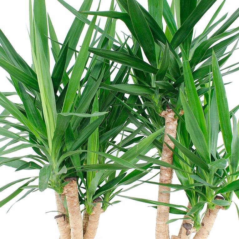 Kamerplanten die weinig water nodig hebben for Zimmer yucca palme bluht