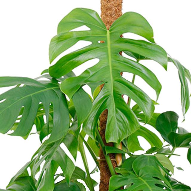 150 - 180 cm kamerplanten