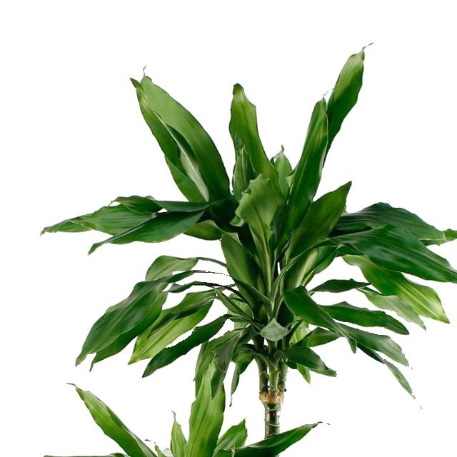 90 - 150 cm kamerplanten