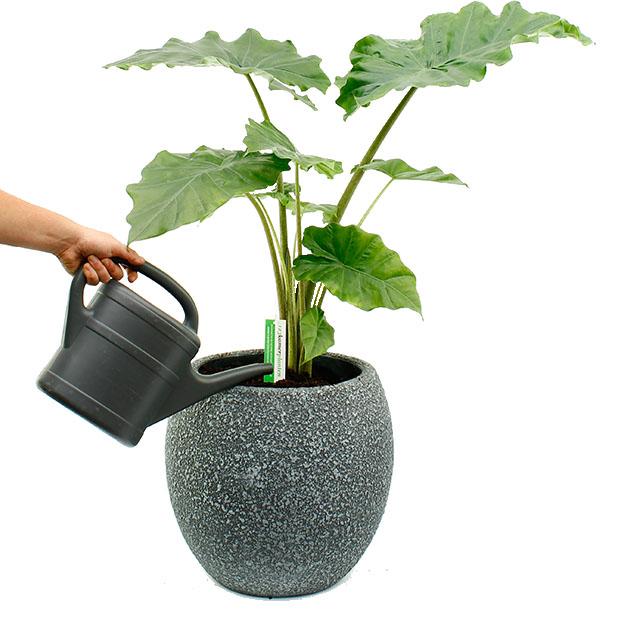 Verzorging groene kamerplanten
