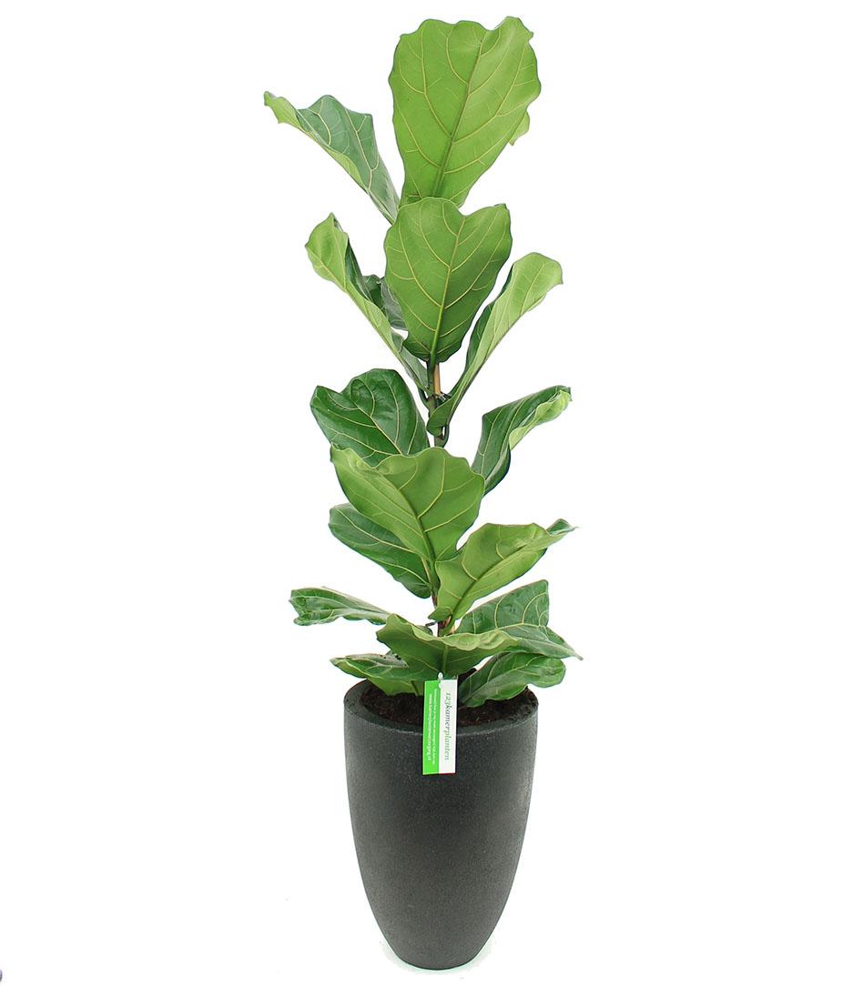 Ficus voor kantoor