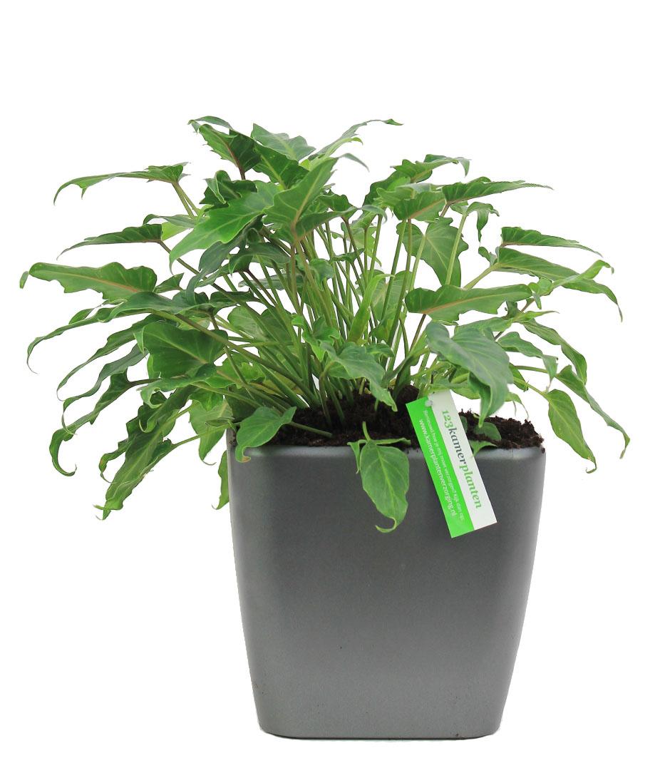 Philodendron voor kantoor
