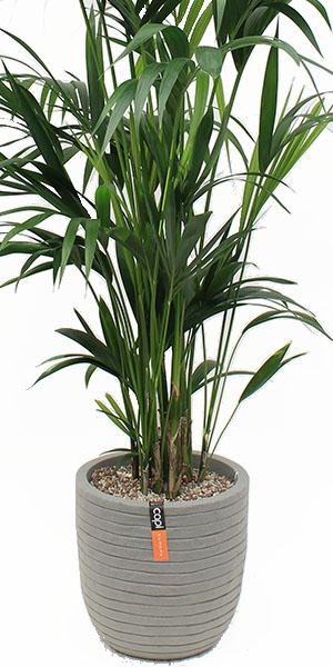 Kentia in capi plantenbak