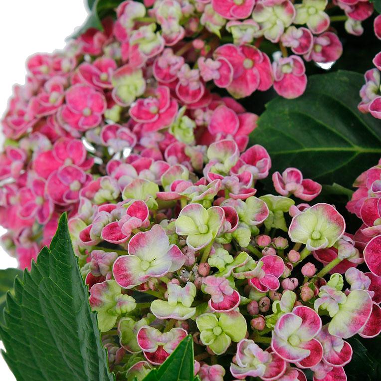 Hortensia roze bloemen