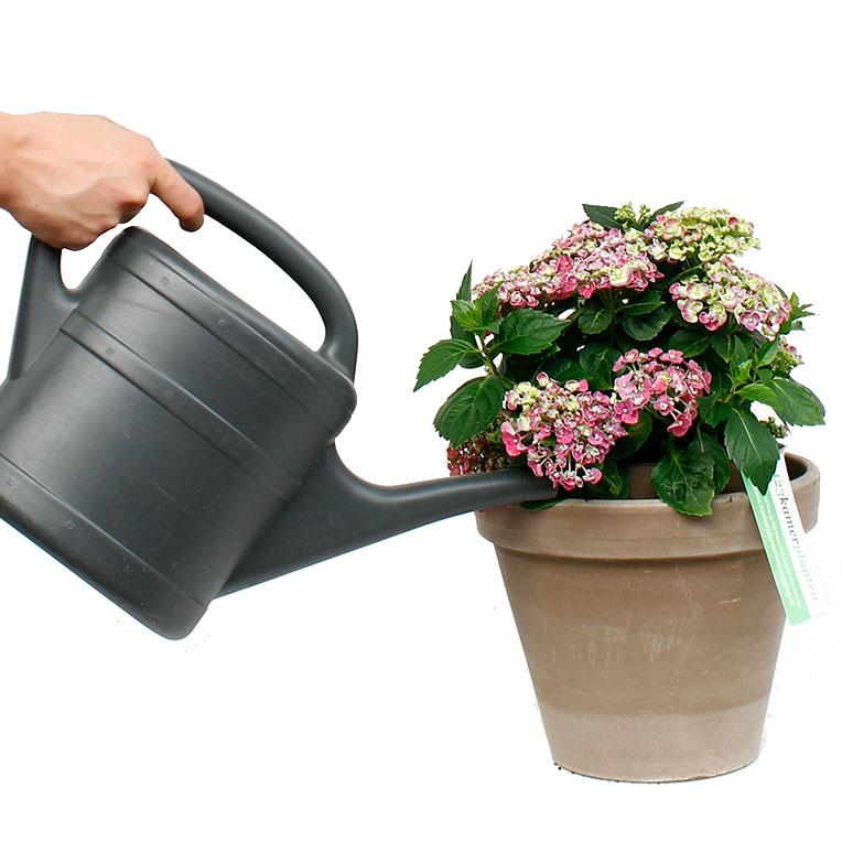 Hortensia water geven