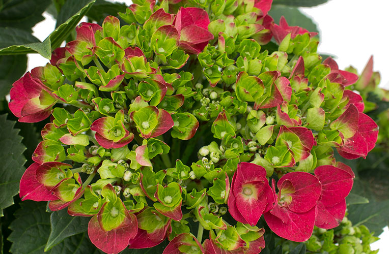 Hortensia gekleurde bloemen